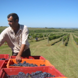 grape-harvest-2-1565508